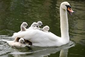 (تصاویر) قوی مادر در کنار فرزندانش