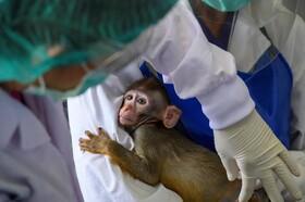 (تصاویر) میمون دم درازی در باغ وحشی در تایلند درمان می شود