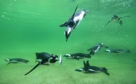(تصاویر) تغذیه پنگوئن ها در باغ وحشی در آلمان