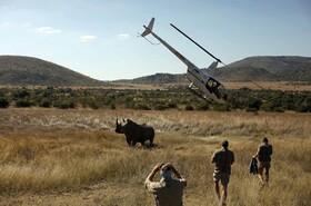 (تصاویر) تلاش محیط بانان در آفریقای جنوبی برای بیهوش کردن کرگدن و بریدن شاخ وی برای حفظ جان این حیوان از گزند شکارچیان