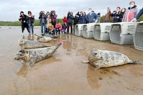 (تصاویر) رهاسازی شیرهای دریایی خاکستری در روسیه