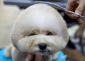 (تصاویر) بازگشایی سلمانی های حیوانات خانگی در سنگاپور