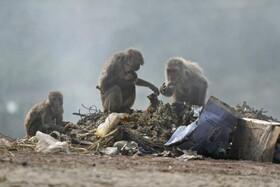 (تصاویر) میون ها دنبال غذا در هند