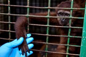 (تصاویر) میمون درازدستی که از قاچاق چیان در اندونزی کشف شده در قفس توسط دامپزشک درمان می شود تا در طبیعت رها شود