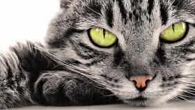 خطر خیره شدن به چشمان گربه!
