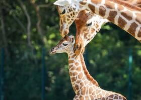 (تصاویر) تولد توله زرافه در باغ وحشی در برلین آلمان