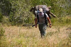 (تصاویر) یک محیط بان در اکوادور در حال حمل لاکپشتی صد ساله به محلی امن است
