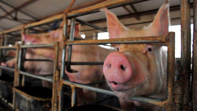 آنفلوانزای خوکی
