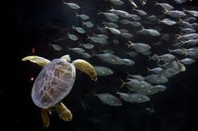 (تصاویر)لاک پشت دریایی