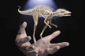 (تصاویر)بازسازی یک جانور دوره دایناسور ها موسوم به کونگونافون که 237 میلیون سال پیش می زیسته با مقیاس دست انسان