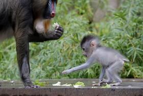 (تصاویر)باغ وحشی در نیواورلئان آمریکا و توله تازه متولد شده یک میمون پس از گشایش مجدد پس از قرنطینه