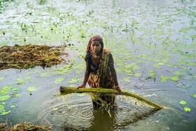 (تصاویر) برداشت کنف بنگلادش