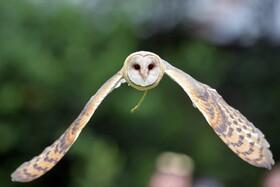 (تصاویر)جغدی در حال پرواز