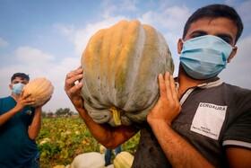 (تصاویر)کشاورزان فلسطینی در غزه در حال برداشت محصول