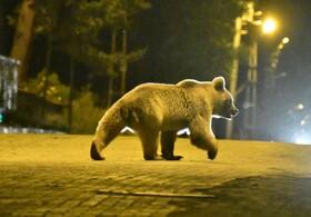 (تصاویر)ورود خرس ها برای غذا به شهری در ترکیه