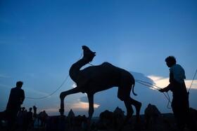 (تصاویر) بازار فروش شتر  برای قربانی در عید قربان در کراجی پاکستان