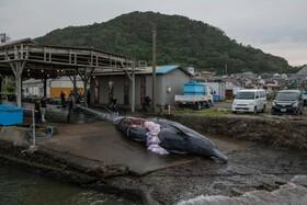 (تصاویر) بندری در چیبای ژاپن و نهنگ شکار شده ای که قصابی می شود