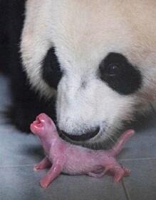(تصاویر) تولد پاندایی در باغ وحشی در کره جنوبی