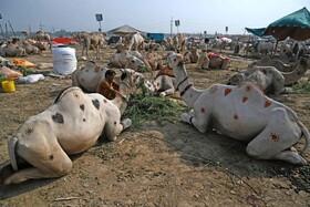 بازار فروش دام در راولپندی پاکستان