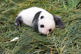 خرس پاندای تازه متولد شده در باغ وحشی در تایوان