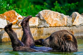 بازی یک خرس قهوه ای در باغ وحشی در کوسوو