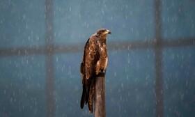 عقابی زیرباران