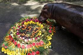 چشن تولد 55 سالگی یک اسب آبی در باغ وحشی در تایلند