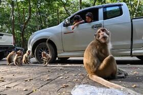 غذادادن به میمون ها در نزدیکی معبدی در تایلند