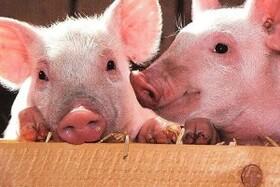 پیوند اندام خوک ها به انسان برای افزایش عمر انسان!!