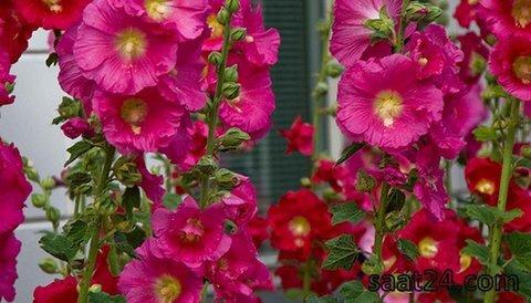 خواص گل ختمی برای سرماخوردگی
