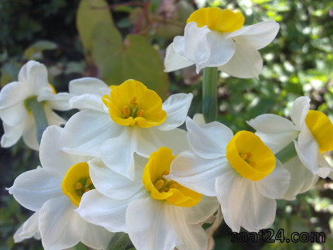 خواص گل نرگس