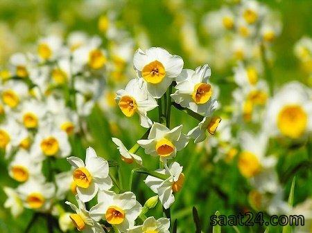 مضرات گل نرگس