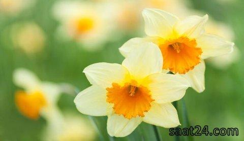 خواص گل نرگس برای افسردگی