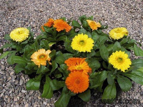 خواص گل همیشه بهار