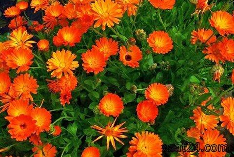 خواص گل همیشه بهار برای بانوان